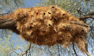 namibia-weaver-birds-nest
