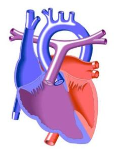 heart venticles