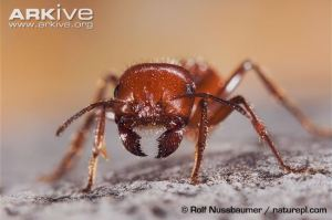 Red-harvester-ant-