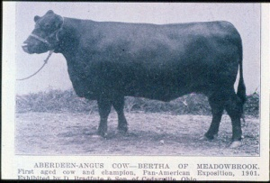 oldest cow