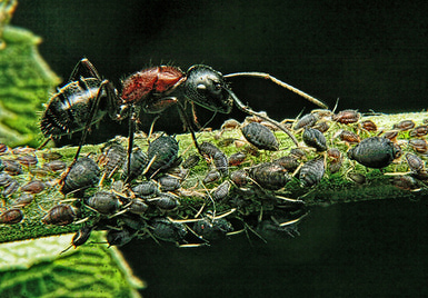ant-with-aphids
